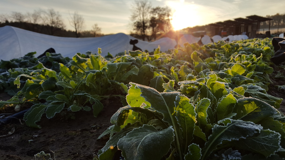 One of the first frosts seen on our turnips. (Kyle Williams)